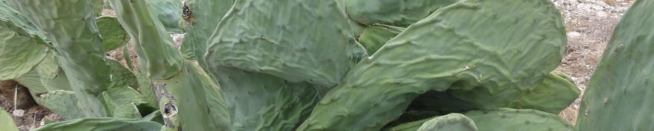 Progetti Opuntia Ficus Indica